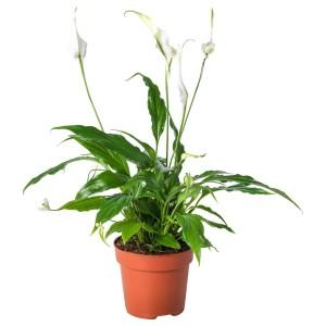 СПАТИФИЛЛУМ Растение в горшке, Спатифиллум