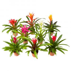 BROMELIACEAE Растение в горшке