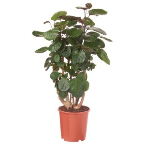 ПОЛИСЦИАС ФАБИАН Растение в горшке