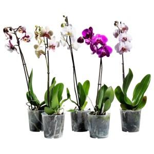 ФАЛЕНОПСИС Растение в горшке, Орхидея, 1 стебель