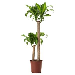 ДРАЦЕНА МАССЕНДЖЕАНА Растение в горшке, Драцена душистая, 2 стебля