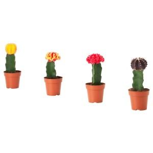 ГИМНОКАЛИЦИУМ Растение в горшке, кактус Гимнокалициум