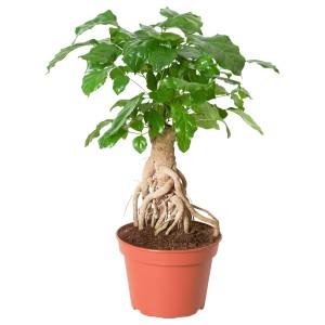 РАДЕРМАХЕРА Растение в горшке, Радермахера китайская