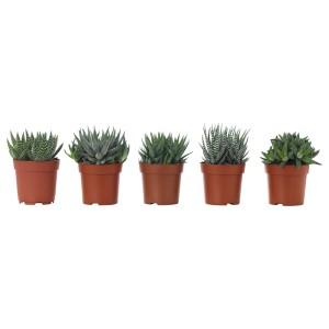 ХАВОРТИЯ Растение в горшке, различные растения