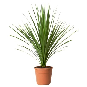 КОРДИЛИНА Растение в горшке, Капустное дерево