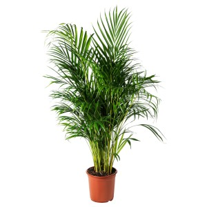 ДИПСИС ЖЕЛТОВАТЫЙ Растение в горшке