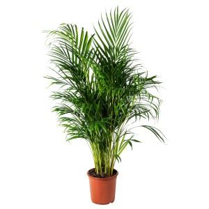 ДИПСИС ЖЕЛТОВАТЫЙ Растение в горшке, Хризалидокарпус желтоватый