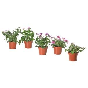 ПЕЛАРГОНИЯ Растение в горшке, различные растения, ароматический