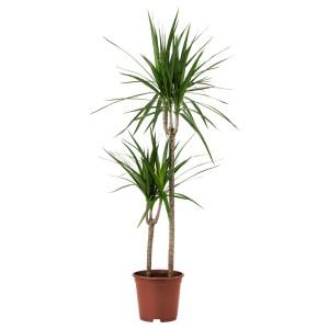 ДРАЦЕНА МАРГИНАТА Растение в горшке, Драцена окаймленная, 2 стебля