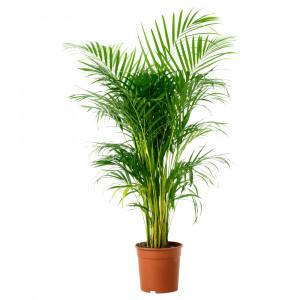 CHRYSALIDOCARPUS LUTESCENS Растение в горшке