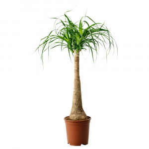 BEAUCARNEA RECURVATA Растение в горшке