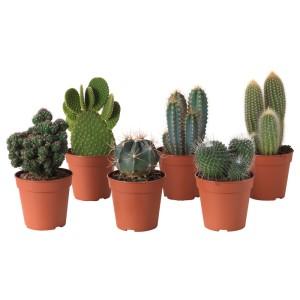 КАКТУС Растение в горшке, различные растения