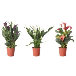 ЗАНТЕДЕСКИЯ Растение в горшке, Зантедеския, различные растения