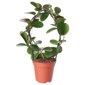 ХОЙЯ Растение в горшке, восковое дерево