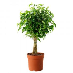 FICUS BENJAMINA 'NATASJA' Растение в горшке