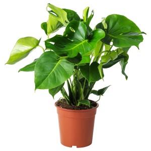 МОНСТЕРА Растение в горшке