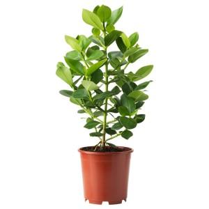 КЛУЗИЯ Растение в горшке