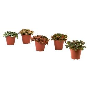 ФИТТОНИЯ Растение в горшке, фиттония, различные растения