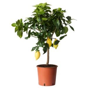 ЦИТРУС Растение в горшке, лимон