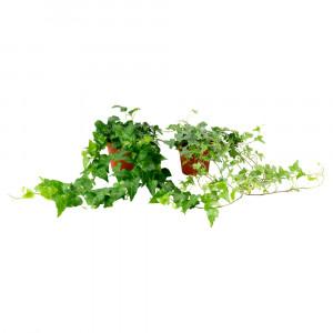 HEDERA HELIX Растение в горшке