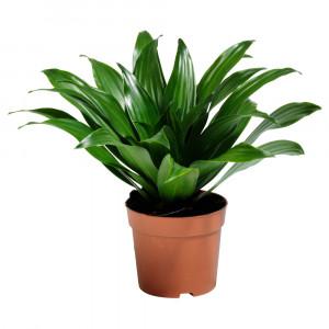 DRACAENA JANET CRAIG Растение в горшке