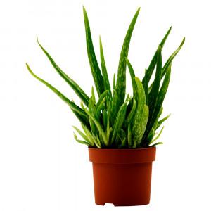 ALOE VERA Растение в горшке