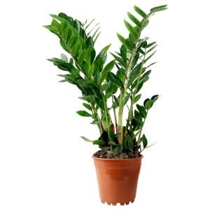 ЗАМИОКУЛКАС Растение в горшке, Замиокулкас