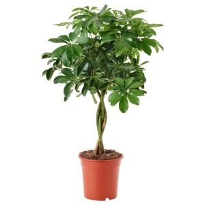 ШЕФФЛЕРА АРБОРИКОЛА Растение в горшке, Шефлера древесная, перекрученный стебель