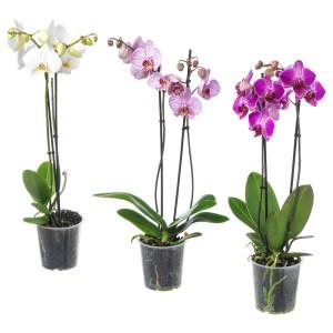 ФАЛЕНОПСИС Растение в горшке, Орхидея, 2 стебля