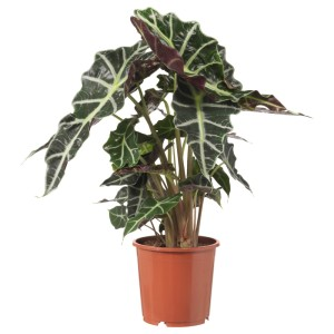 АЛОКАЗИЯ АМАЗОНИКА Растение в горшке