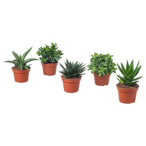 СУККУЛЕНТЫ Растение в горшке