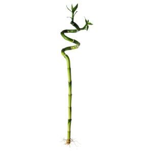 ДРАЦЕНА Растение