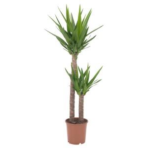 ЮККА СЛОНОВАЯ Растение в горшке