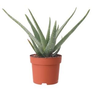 АЛОЭ ВЕРА Растение в горшке