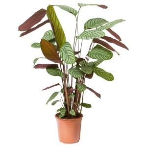 КАЛАТЕЯ Растение в горшке, Калатея
