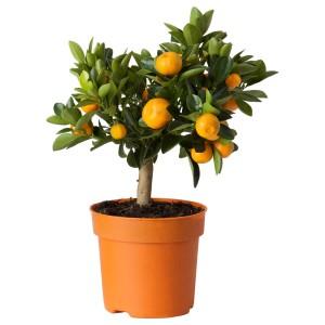 ЦИТРУС Растение в горшке, Каламондин