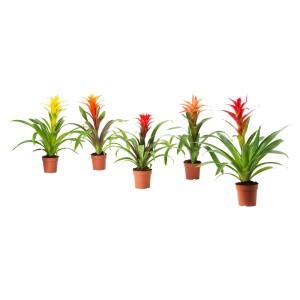 БРОМЕЛИЯ Растение в горшке, Бромелия, различные растения
