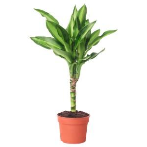 ДРАЦЕНА Растение в горшке